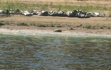 Собранный нефтешлам на берегу реки